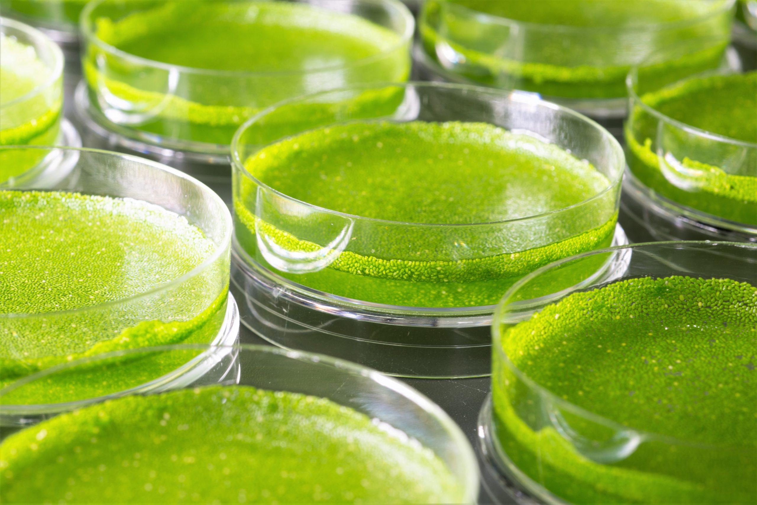 על זמינות B12 פעיל ונספג בצריכת ירק המנקאי